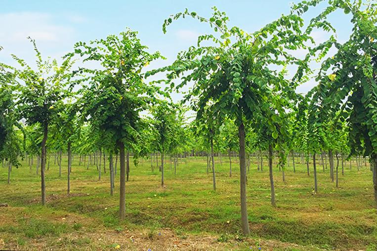 珊瑚朴树体高大,庭荫树抗烟尘及有毒气体,病虫害少,叶茂荫浓,是优秀的